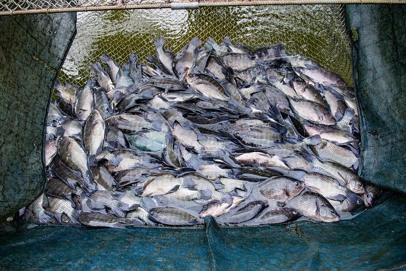Produtores rurais da Serra realizam capacitação em piscicultura