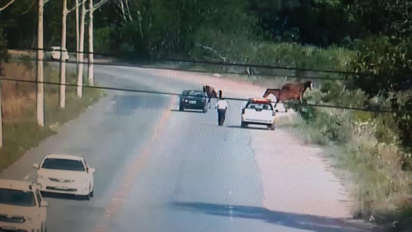 Videomonitoramento flagra animais soltos da pista e providencia resgate