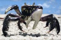 Andada do caranguejo começa nesta sexta-feira (08)